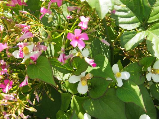 20150530・植物08・ムラサキカタバミ(ドクダミ)