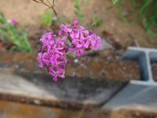 20150530・植物14・ムシトリナデシコ
