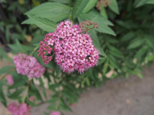 20150530・植物13・シモツケ