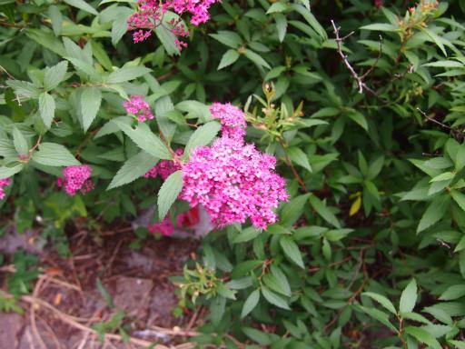 20150530・植物19・再び狭山湖のシモツケ
