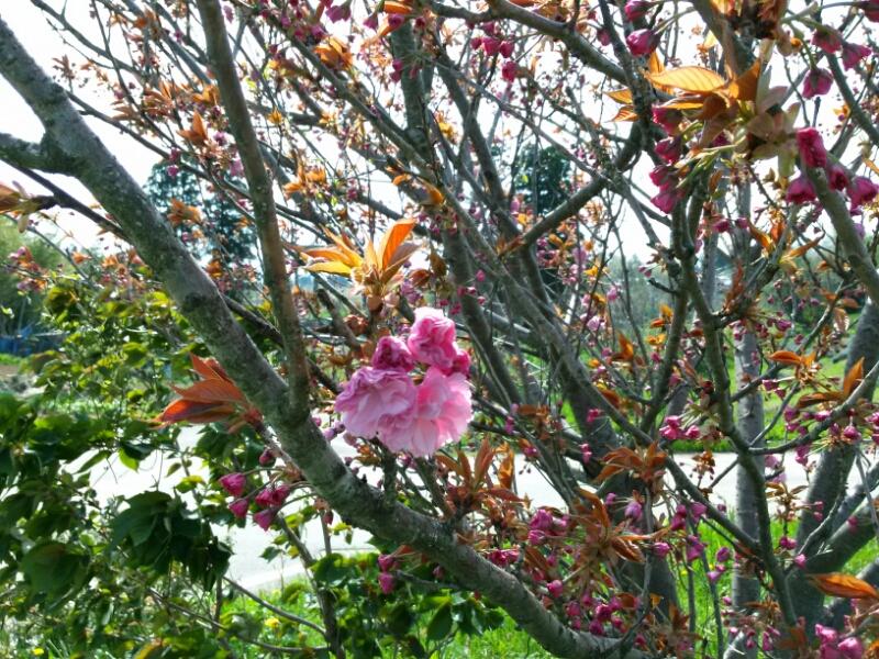 カンザン咲き始め。