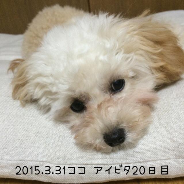 2015.3.31ココ アイビタ20日目