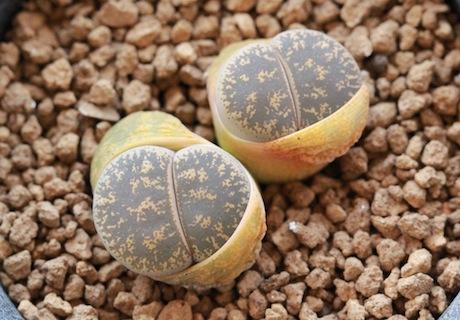 リトープス・C139紫薫