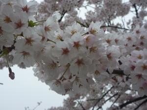 2015 0401 桜