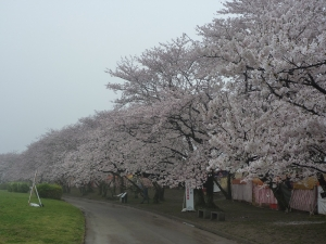 2015 0401 桜3