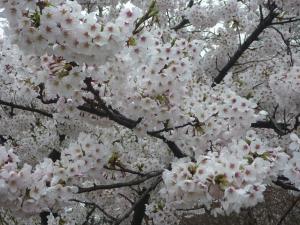 2015 0401 桜2